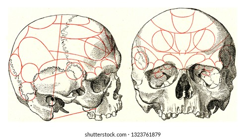 Skulls with indications after Gall, vintage engraved illustration. From the Universe and Humanity, 1910.
