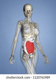Small Intestine, Female Skeleton, 3D Human Model