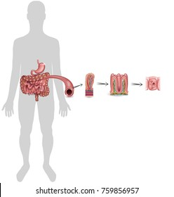 Small intestine lining detailed anatomy, a fold of the intestinal lining, villi and epithelial cell with microvilli