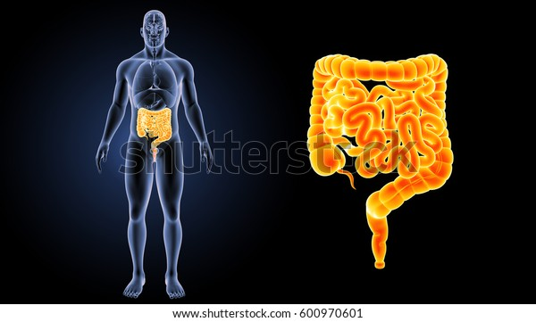 Small and large intestine anterior view 3d illustration