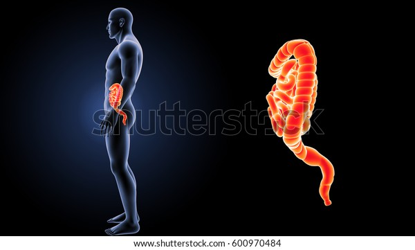 Small and large intestine lateral view 3d illustration