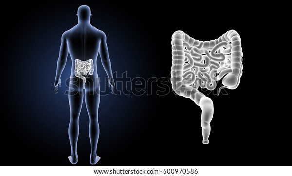 Small and large intestine posterior view 3d illustration