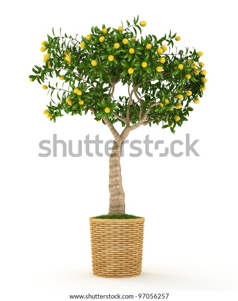 Small  lemon tree with yellow lemons in the pot isolated on white