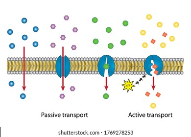 Small molecules across the lipid bilayer or membrane into intracellular fluid of cell by passive transport pathway including simple and facilitated diffusion and active transport by using energy