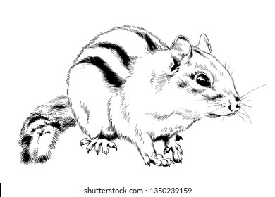 small striped Chipmunk rodent with tail drawn in ink by hand without background