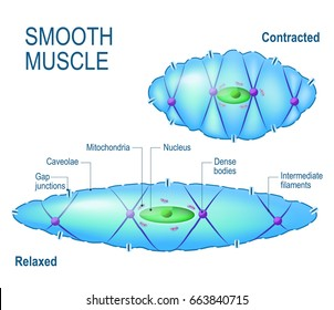 smooth muscle cell. Anatomy of a relaxed and contracted smooth muscle cell