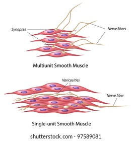 smooth muscle tissue images stock photos vectors shutterstock rh shutterstock com Cardiac Muscle Tissue Diagram diagram of smooth tissue