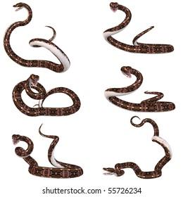 Snake-Gaboon Viper