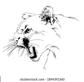 snarling, furious cougar face with fangs, hand-drawn for tattoo and logo