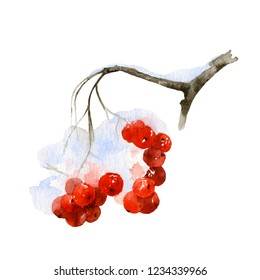 Snow-covered rowan branch with red berries hand drawn in watercolor isolated on a white background.