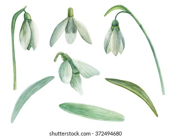 Snowdrop clip art. Spring flowers watercolor. Hand painted floral isolated