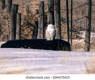 A snowy owl sits on a large tire along a fence post in a rural area.