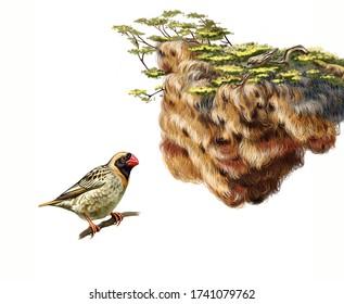 sociable weaver (Philetairus socius) and amazing nest, unusual house, realistic drawing, illustration for Africa bird encyclopedia, isolated image on white background