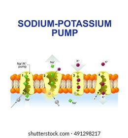 sodium-potassium pump. After binding ATP, the pump binds 3 ions sodium. ATP is hydrolyzed. the ions go to the outside. then The pump binds 2 ions potassium and transporting the ions into the cell.