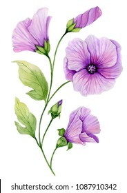 Soft floral illustration. Beautiful purple lavatera flowers on a twig with green leaves and closed buds isolated on white background. Watercolor painting. Hand painted image.