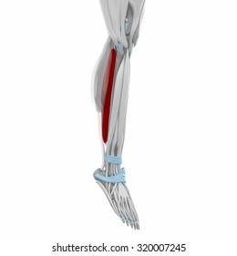 Soleus - Muscles anatomy map