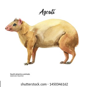 South America animals watercolor illustration hand drawn wildlife isolated on a white background. Agouti
