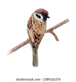 Sparrow Bird watercolor isolated .Sparrow Bird on white background. Watercolor hand painted illustration of Sparrow Bird.