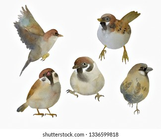 Sparrow Little birds.Watercolor hand painted isolated on white background.