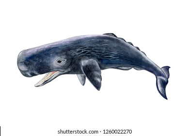 Sperm whale, humpback realistic isolated on white background. Sea life. Watercolor. Illustration. Template. Close-up. Portrait. Hand drawn. Hand painting. Clipart. Close-up