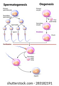 Spermatogenesis and Oogenesis. Oogenesis or ovogenesis is the creation of an ovum, it is the female form of gametogenesis. The male equivalent is spermatogenesis.