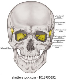The sphenoid bone of the cranium, the bones of the head, skull. The individual bones and their salient features in different colors. The names of the cranial bones and sutures. Anterior view.