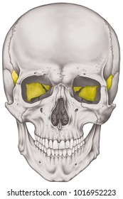 The sphenoid bone of the cranium, the bones of the head, skull. The individual bones and their salient features in different colors. Anterior view.