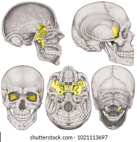 The sphenoid bone of the cranium, the bones of the head, skull. The individual bones and their salient features in different colors. Anterior,  posterior, inferior, lateral and sagittal view.