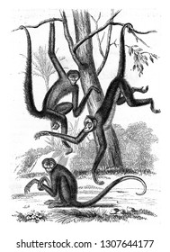 Spider monkeys, vintage engraved illustration. From Zoology Elements from Paul Gervais.