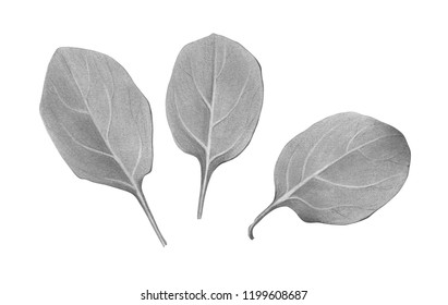Spinach Leaves Pencil Illustration Isolated on White