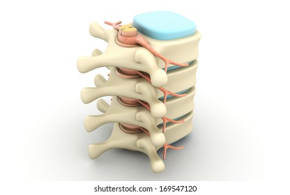 Spinal column with nerves and discs isolated on white background