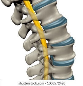 Spinal cord anatomy concept as a medical symbol for the human central nervous system and vertebral column as a 3D illustration.