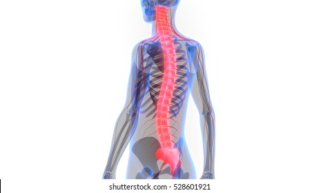 Spinal Cord Images Stock Photos Vectors Shutterstock