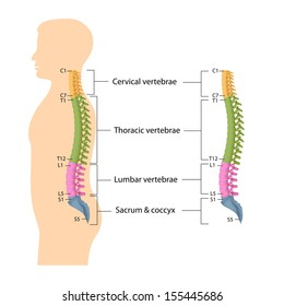 Spine anatomy labeled
