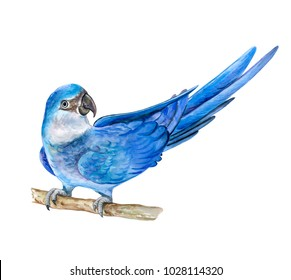 Spix's macaw. Little blue macaw isolated on white background. Illustration. Watercolor. Template. Manual work. Close-up. Clip art.
