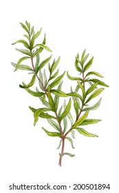 Sprig of rosemary. Watercolor illustration on a white background
