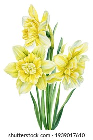 Spring bouquet. Watercolor flowers daffodils on isolated on white background, botanical painting