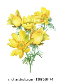 Spring bouquet of wild flower yellow Adonis vernalis (also known as pheasant's eye and false hellebore). Hand drawn watercolor painting illustration isolated on white background.