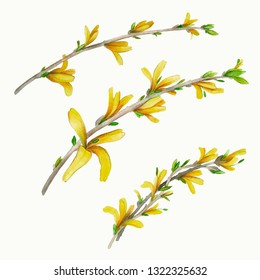 Spring branches with flowers. Forsythia flowers.