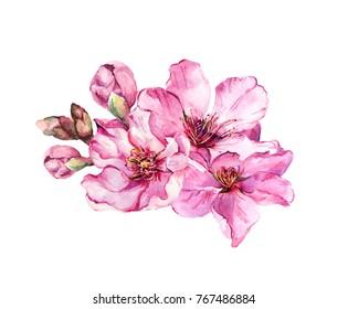 Spring cherry blossom, pink flowers. Watercolor