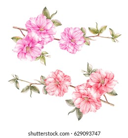 Spring colection of sakura flowers. Awesome pink flowers set. Watercolor botanical illustration of a sakura. Set for marriage, wedding or invitation cards.