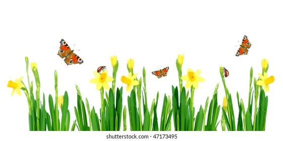 spring is coming - meadow full of yellow daffodils butterflies and ladybugs, on white background