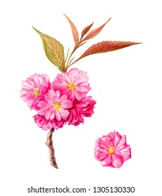 Spring flower Sakura. Watercolour illustration. Flowers cherry blossom, brunch. Romantic background for web pages, wedding invitations