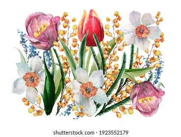 Spring flowers daffodils, tulips, mimosa with green buds, leaves and stems on a white background. Hand drawn watercolor composition for design of cards, wedding invitations, background, texture, print