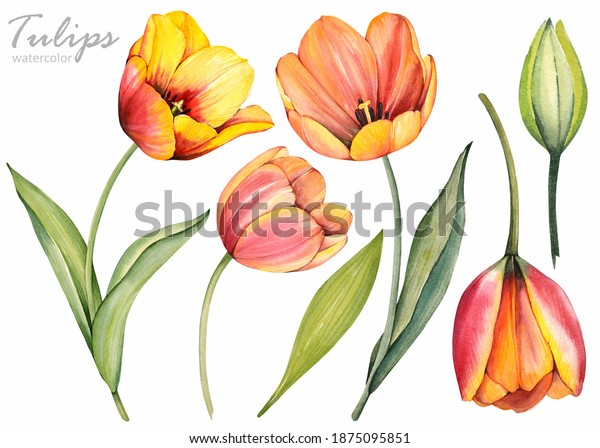 Spring flowers. Yellow tulips on white background. Floral set. Watercolor illustration.