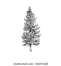 Spruce Fir sketch  illustration. Picea abies isolated on white background