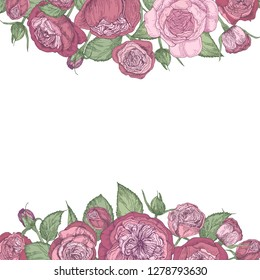 Square romantic floral backdrop decorated with gorgeous pink Austin or cabbage rose flowers hand drawn on white background at top and bottom edges. Natural realistic decorative  illustration.