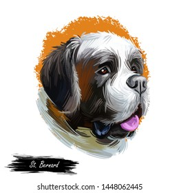 St Bernard breed of large working dog from western Alps isolated on white. Digital art. Animal watercolor portrait closeup isolated muzzle of pet, canine hand drawn clipart, animalistic drawing