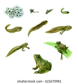Stage of frog development, illustration by watercolor