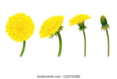 Stages closing flower dandelion, isolated. Gradual folding of petals of plant.  illustration of living natural phenomenon